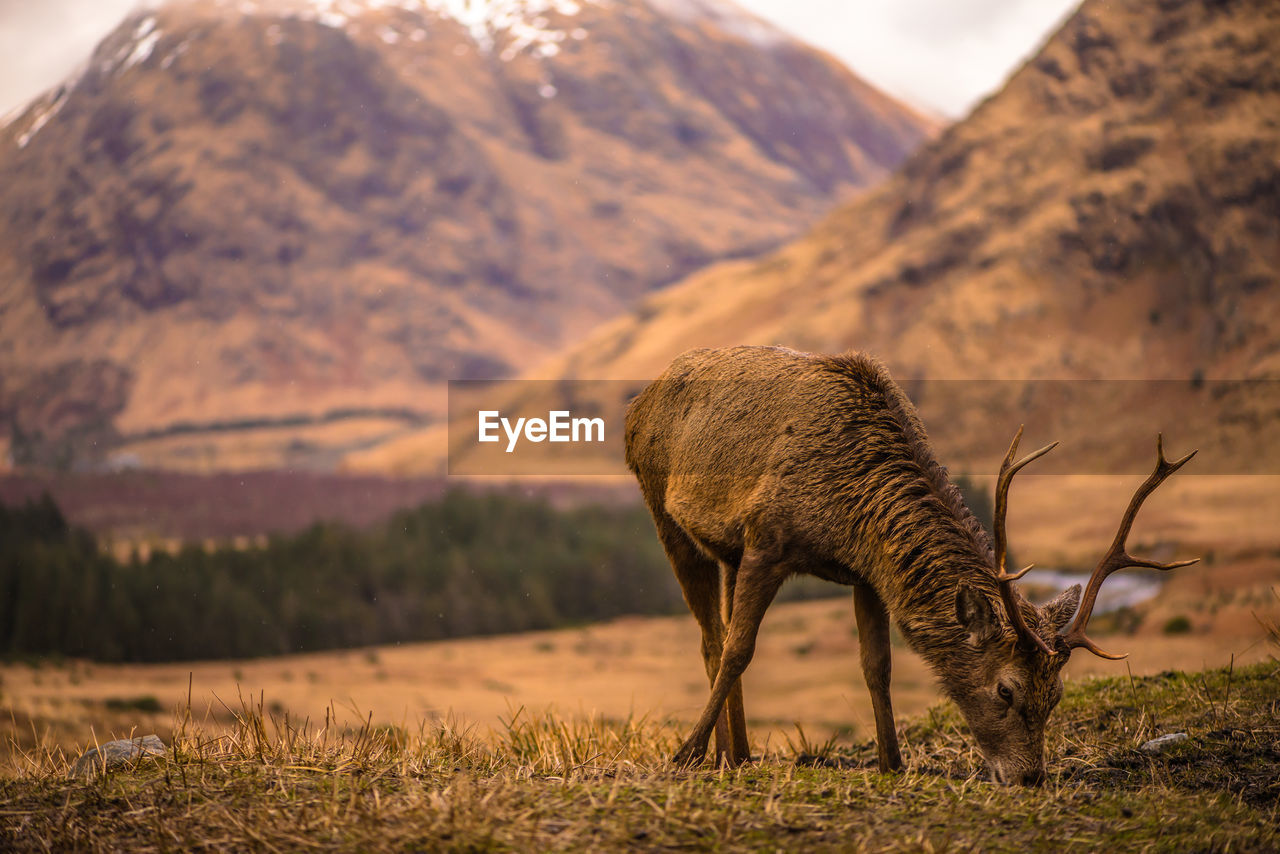 Deer Grazing On Field Against Mountain