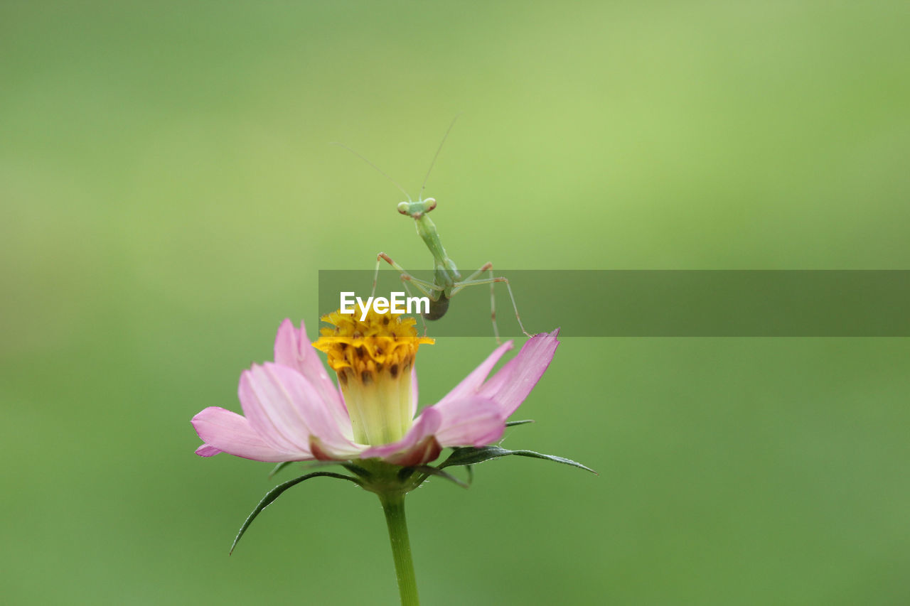 flower, flowering plant, plant, beauty in nature, animal wildlife, animal themes, animal, animals in the wild, fragility, petal, invertebrate, vulnerability, one animal, insect, freshness, close-up, flower head, growth, nature, inflorescence, pink color, no people, pollination, animal wing, outdoors, pollen, butterfly - insect, butterfly