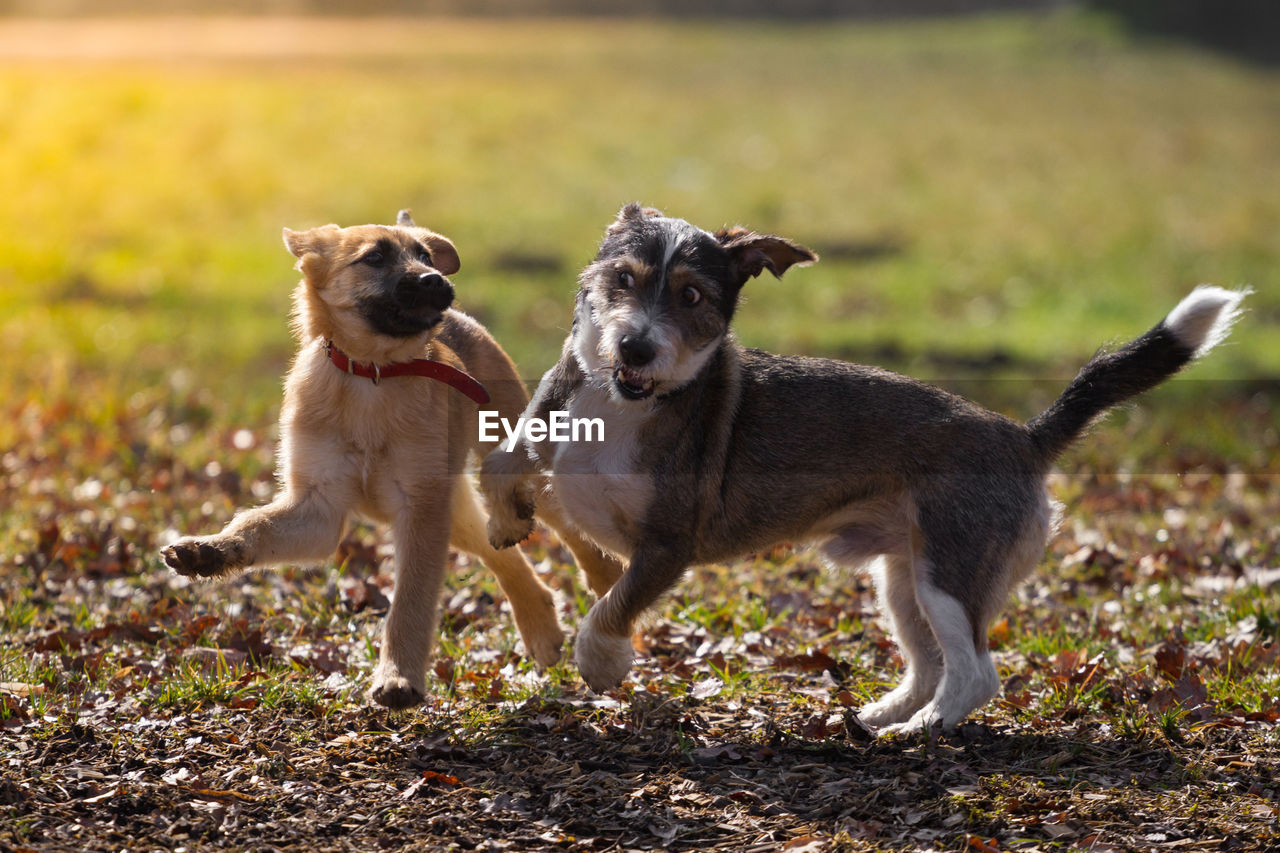 canine, dog, domestic, mammal, pets, animal themes, animal, domestic animals, one animal, day, field, land, nature, no people, focus on foreground, vertebrate, standing, mouth open, animal family