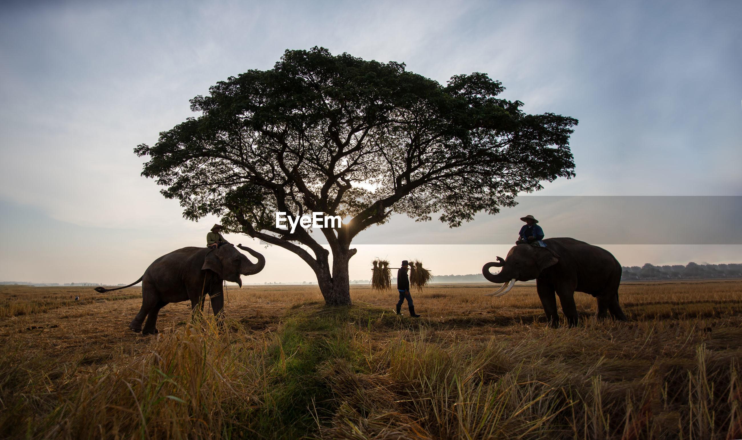 Men sitting on elephants at landscape