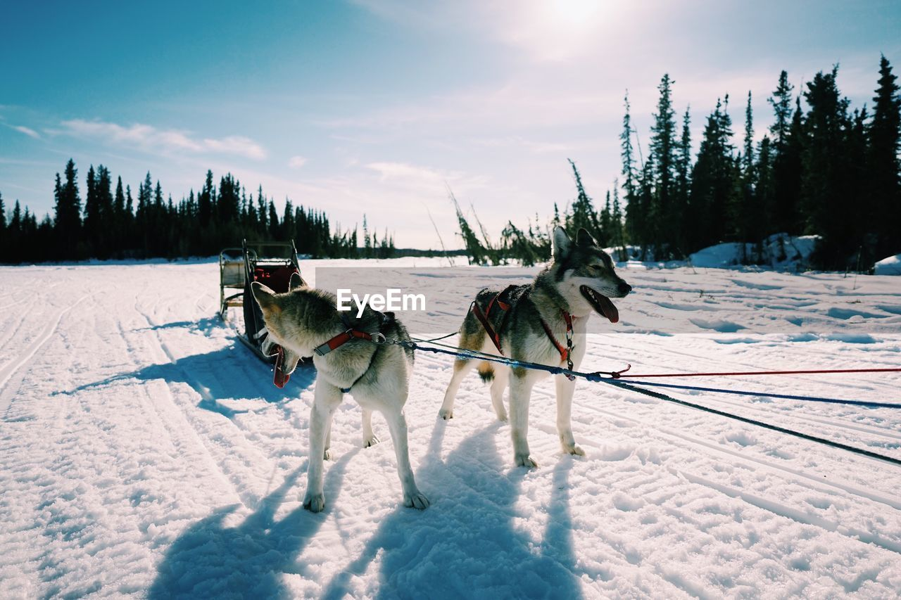 Dogs on snow covered landscape against sky