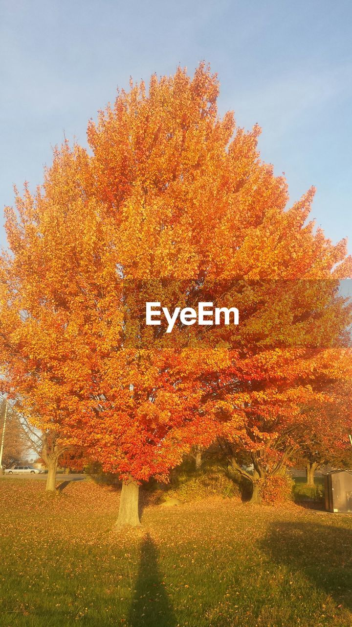 autumn, change, tree, leaf, orange color, beauty in nature, nature, tranquility, tranquil scene, maple tree, no people, day, scenics, outdoors, growth, maple, maple leaf, grass, sky
