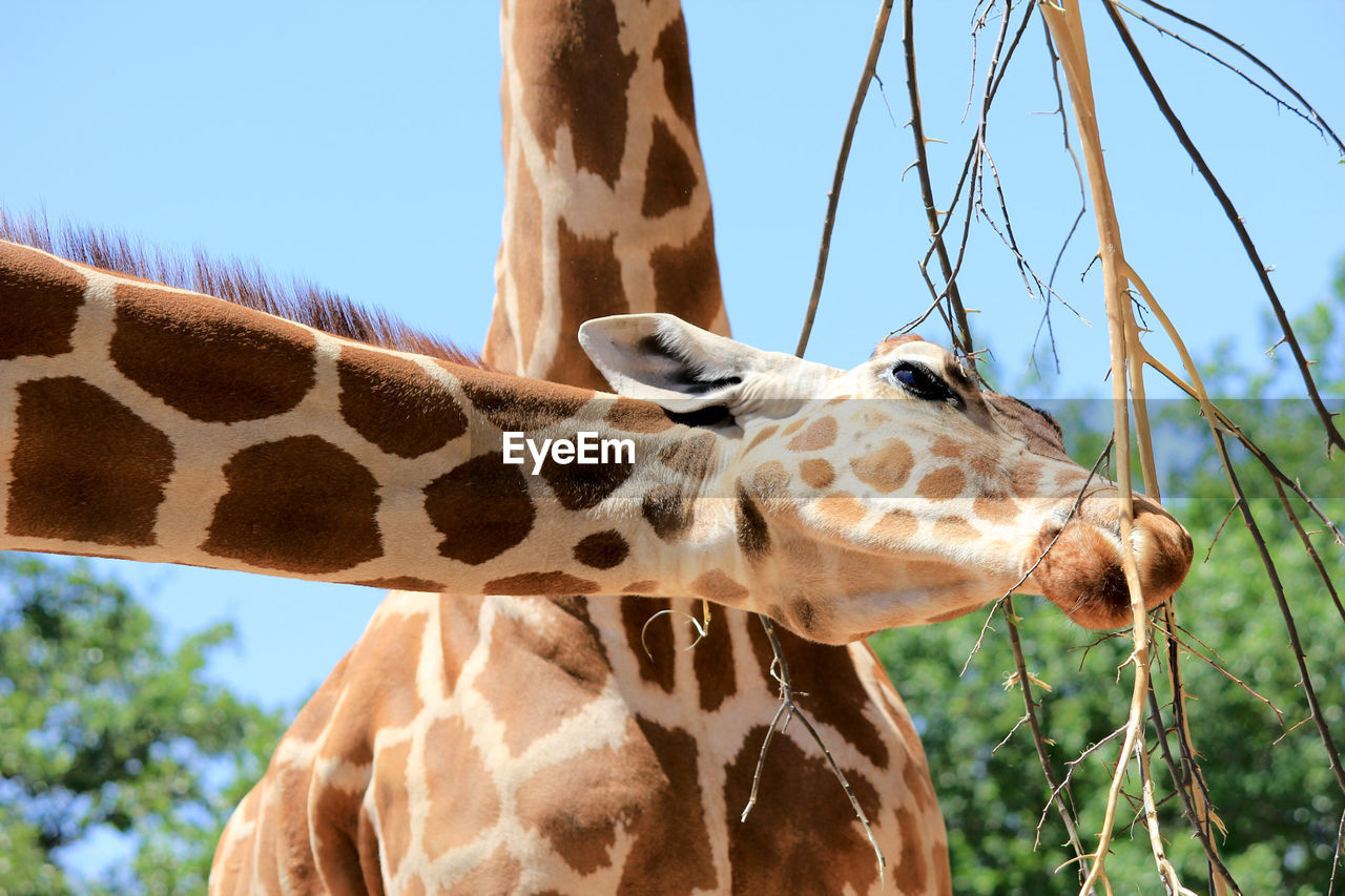 Low Angle View Of Giraffes Against Clear Sky