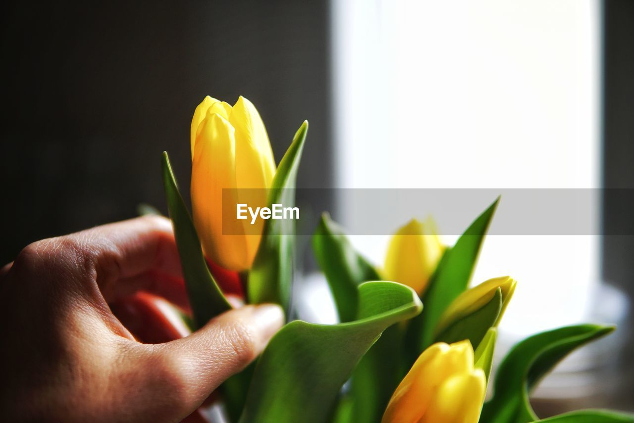 Close-up of hand holding yellow tulip