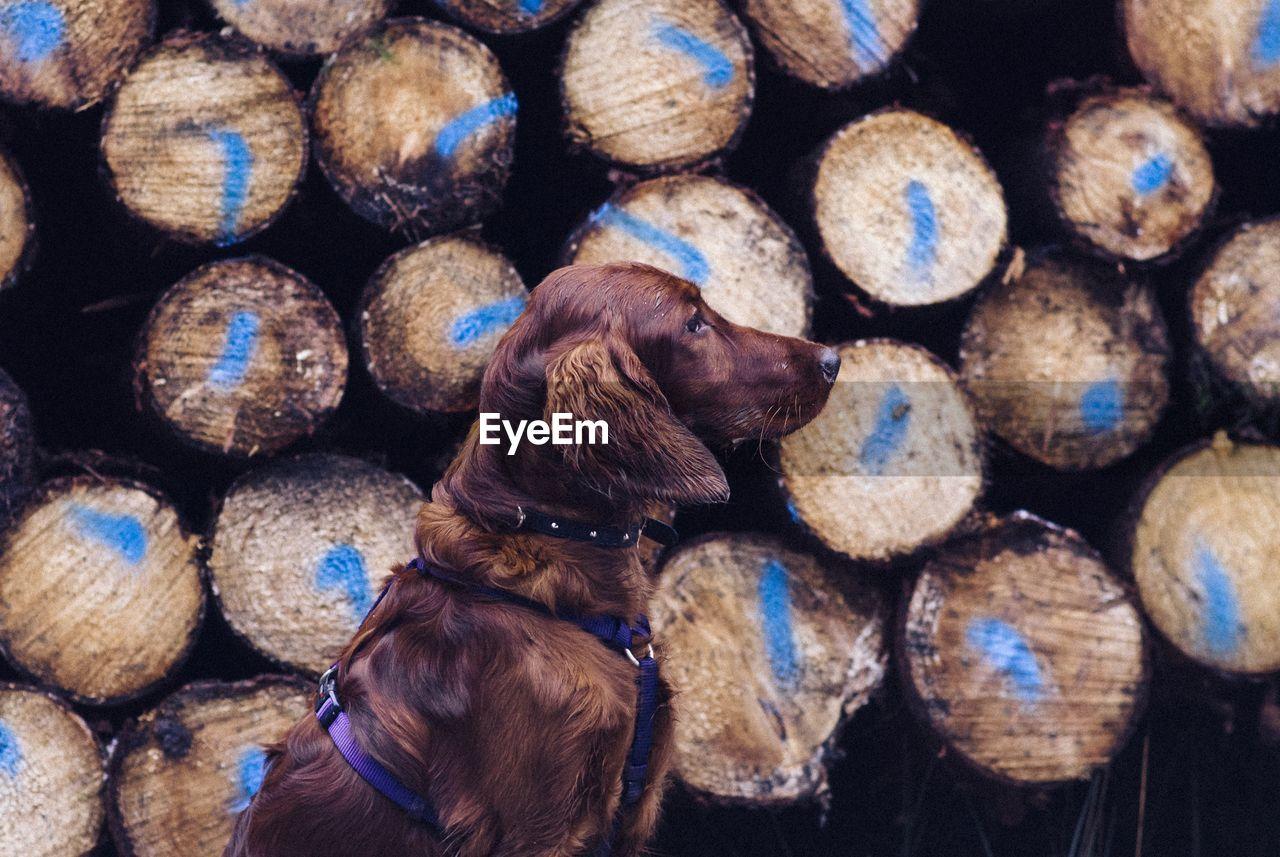 Close-Up Of Dog Against Log Stack