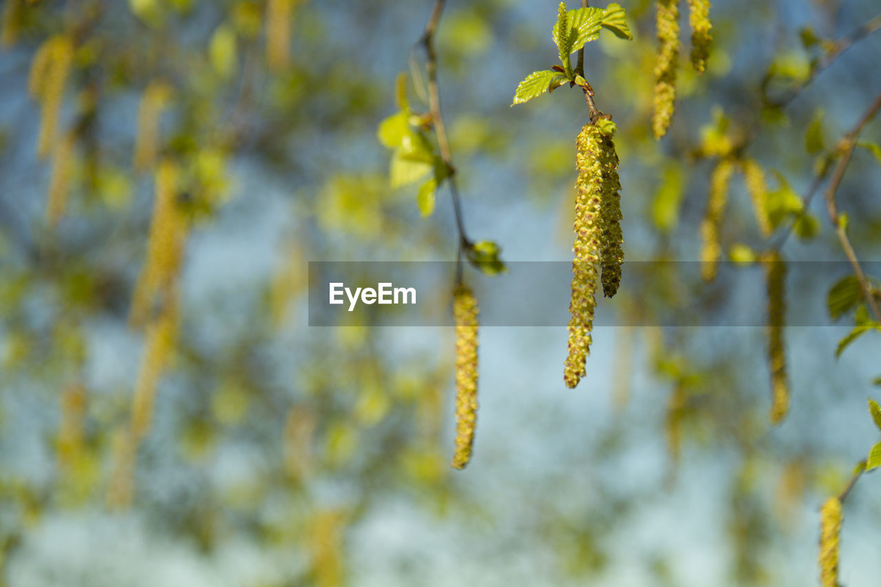 growth, plant, beauty in nature, pussy willow, close-up, no people, yellow, nature, day, fragility, flower, focus on foreground, vulnerability, tranquility, green color, flowering plant, outdoors, freshness, hanging, tree