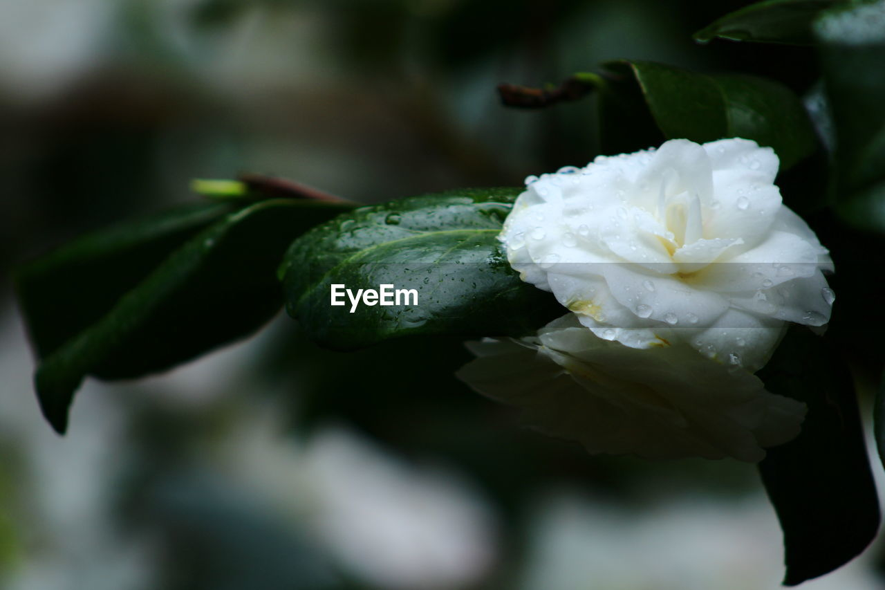 flower, flowering plant, plant, freshness, beauty in nature, close-up, growth, fragility, vulnerability, nature, inflorescence, flower head, petal, drop, focus on foreground, white color, leaf, no people, rose, plant part, outdoors, dew