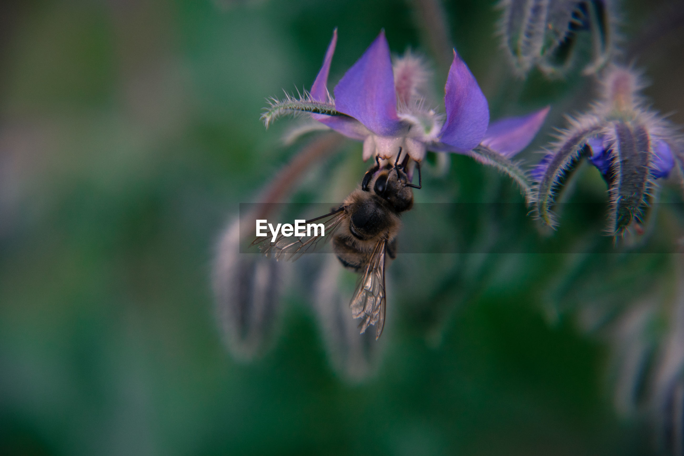 CLOSE-UP OF BEE POLLINATING ON FLOWERS