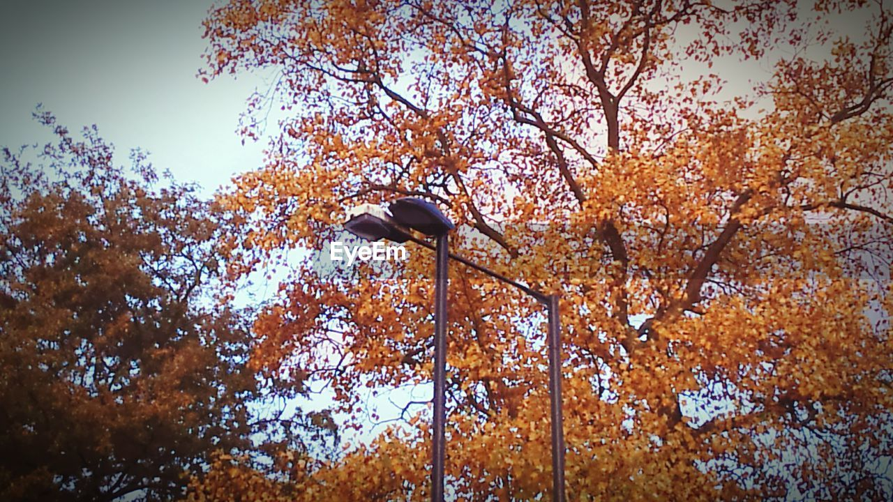 autumn, tree, change, leaf, low angle view, nature, lighting equipment, no people, day, outdoors, street light, beauty in nature, branch, growth, sky, clear sky, maple, close-up