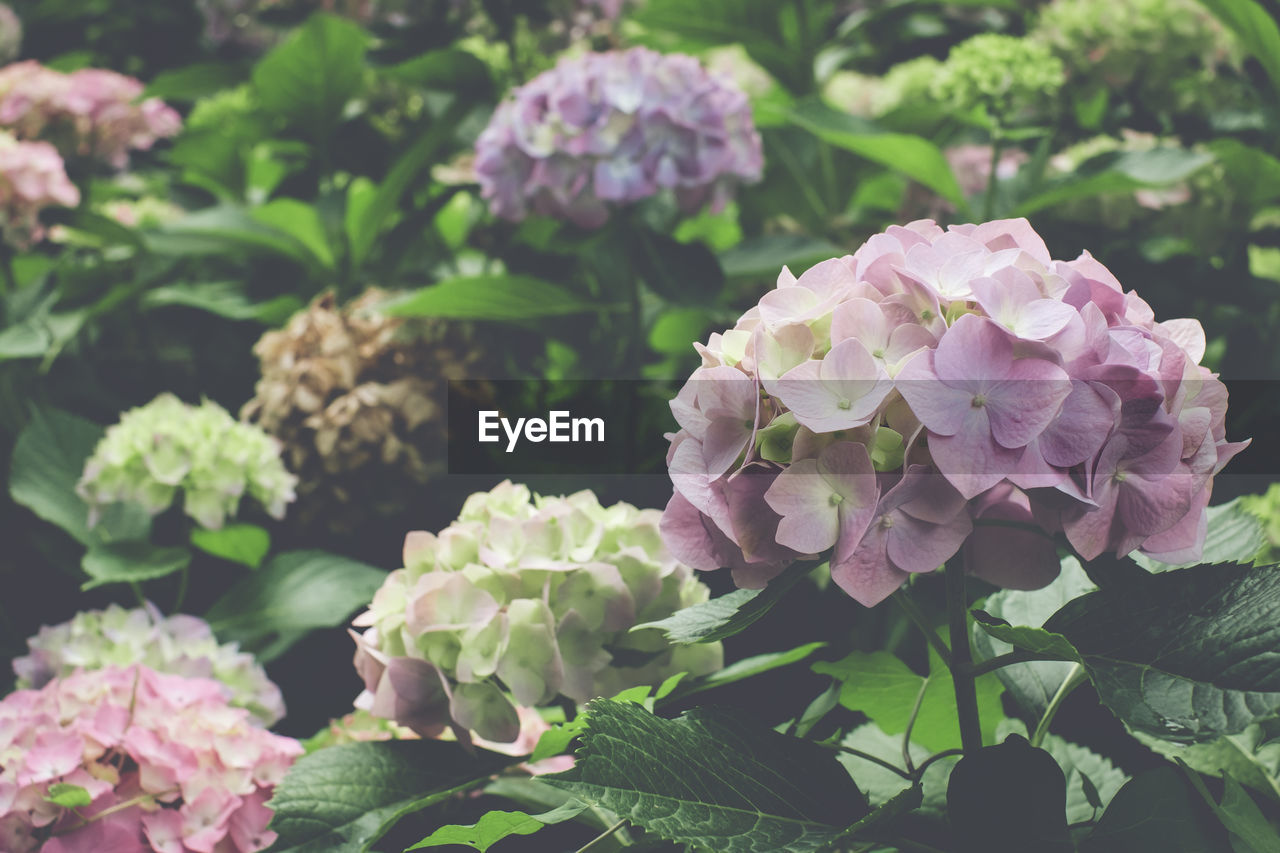 flower, plant, flowering plant, beauty in nature, growth, freshness, vulnerability, petal, fragility, plant part, nature, leaf, close-up, flower head, pink color, inflorescence, day, hydrangea, no people, green color, outdoors, springtime, bunch of flowers, lilac, purple