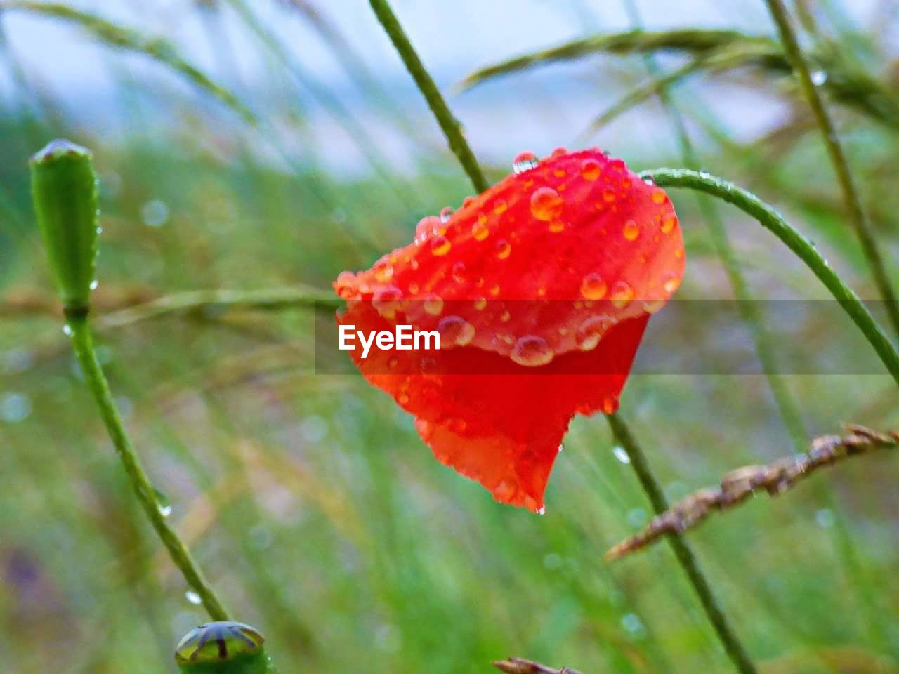 growth, nature, beauty in nature, red, plant, drop, day, close-up, no people, outdoors, freshness, leaf, cold temperature, focus on foreground, fragility, green color, water