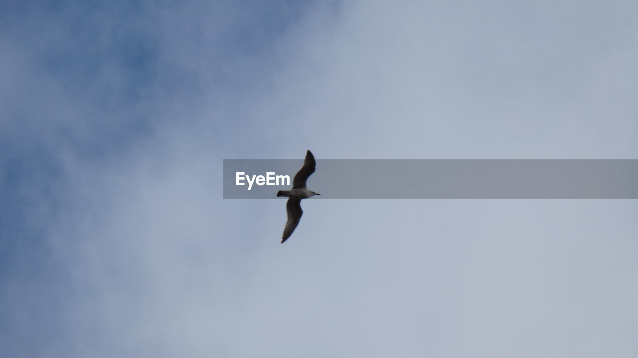 animals in the wild, animal wildlife, bird, flying, low angle view, vertebrate, animal themes, animal, sky, spread wings, mid-air, one animal, no people, nature, day, motion, outdoors, cloud - sky, on the move, zoology, seagull