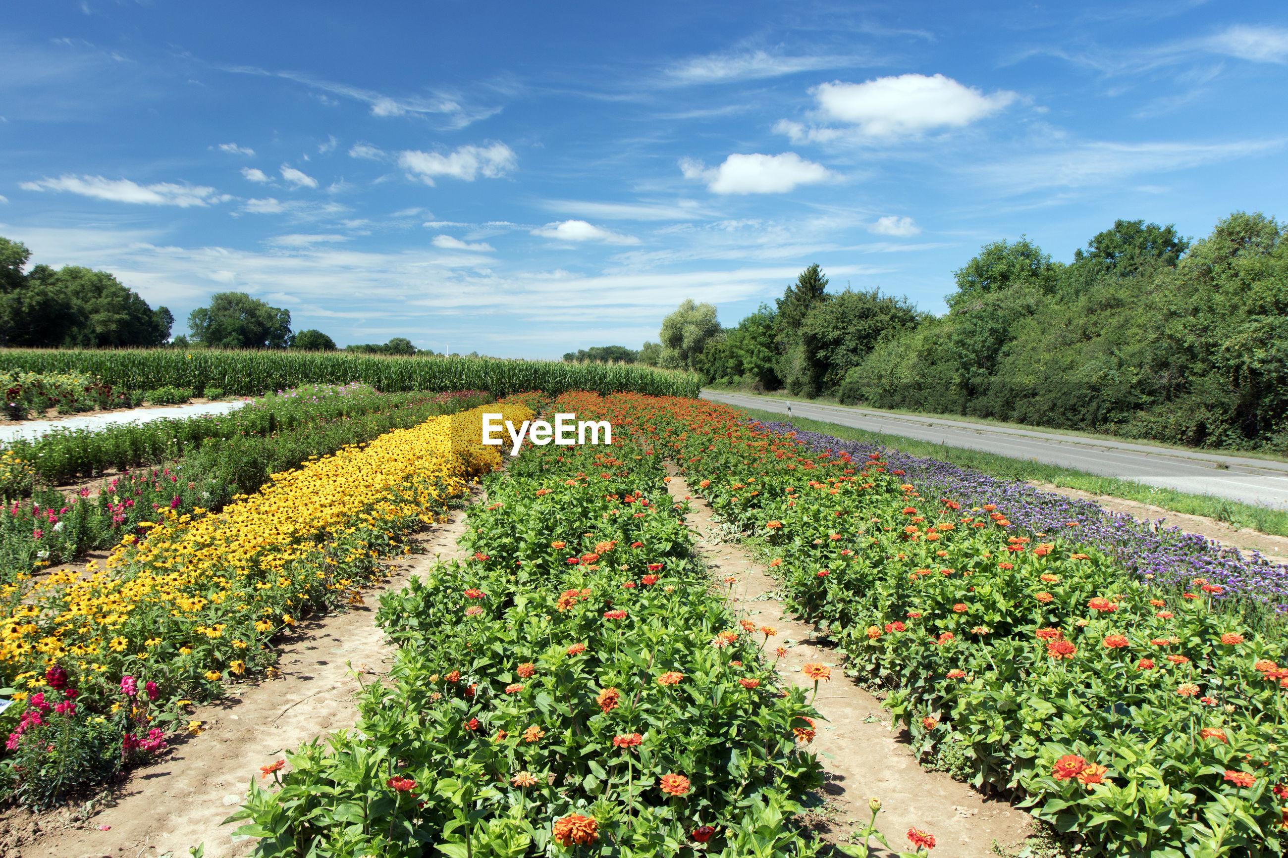 SCENIC VIEW OF FLOWERING FIELD AGAINST SKY