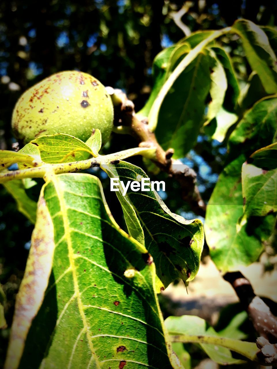 leaf, green color, growth, nature, close-up, plant, no people, outdoors, focus on foreground, day, beauty in nature, fruit, freshness, tree