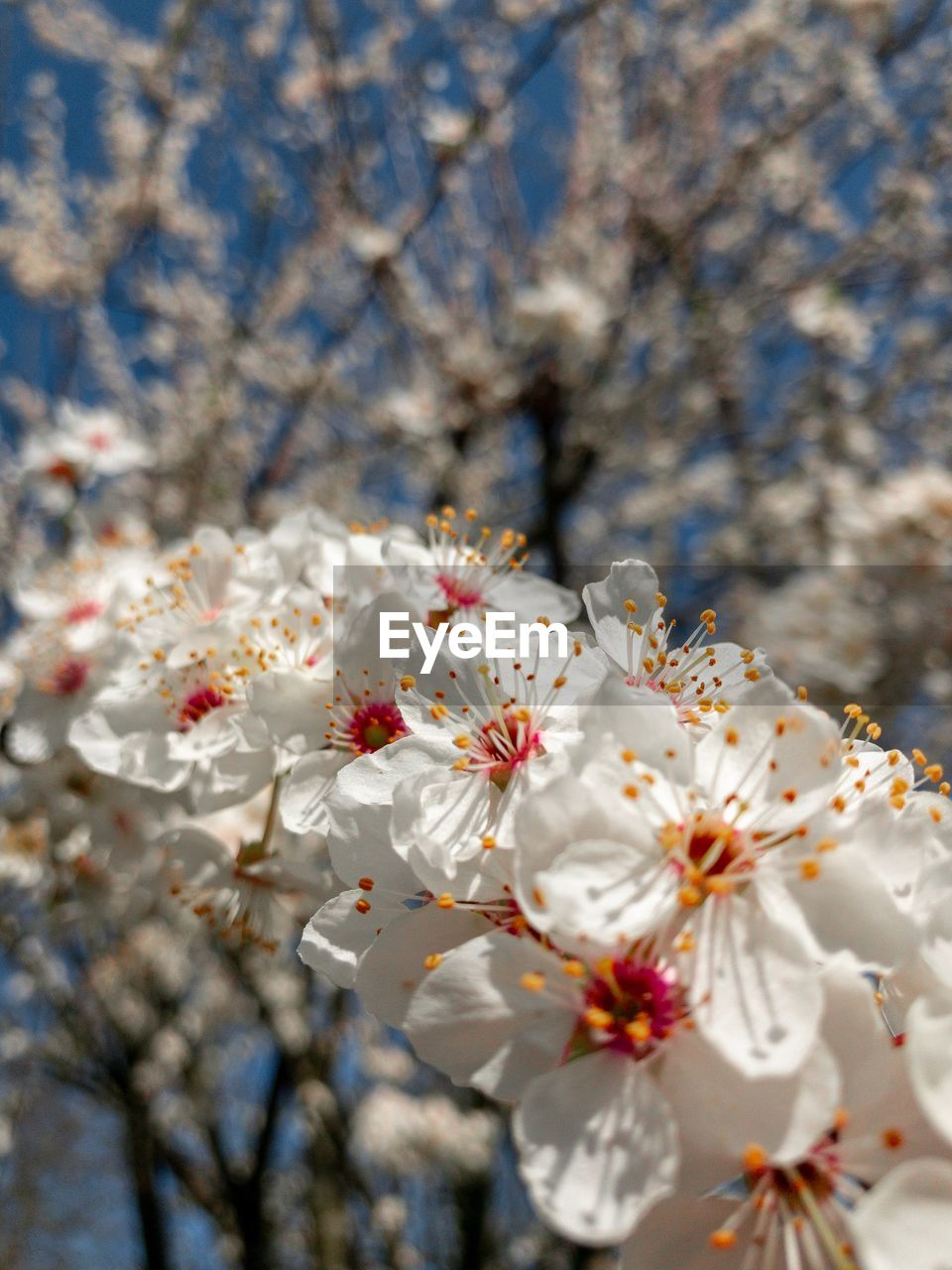 flowering plant, flower, plant, fragility, vulnerability, freshness, springtime, tree, petal, growth, blossom, beauty in nature, white color, close-up, cherry blossom, day, branch, nature, flower head, pollen, no people, outdoors, cherry tree, spring