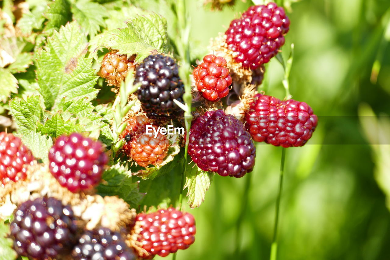 berry fruit, food and drink, food, fruit, freshness, healthy eating, close-up, red, no people, raspberry, blackberry - fruit, green color, growth, wellbeing, selective focus, blackberry, plant, day, ripe, strawberry