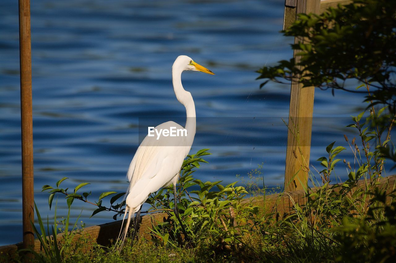 water, animal themes, animal wildlife, vertebrate, animals in the wild, animal, one animal, egret, bird, plant, lake, day, great egret, no people, nature, white color, focus on foreground, beauty in nature, outdoors, animal neck
