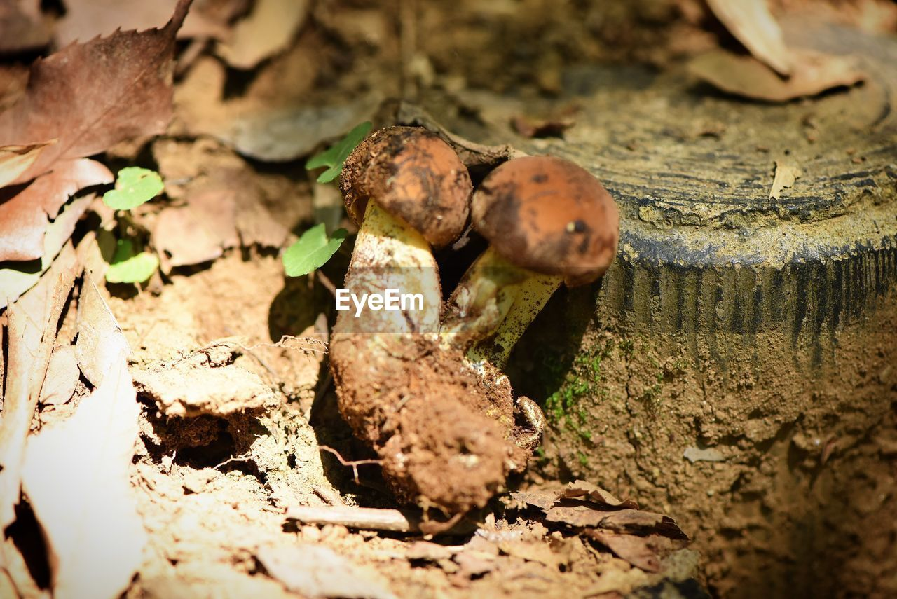 mushroom, leaf, nature, land, plant part, selective focus, food, vegetable, close-up, no people, day, fungus, plant, field, growth, outdoors, food and drink, dry, toadstool, tree, mud