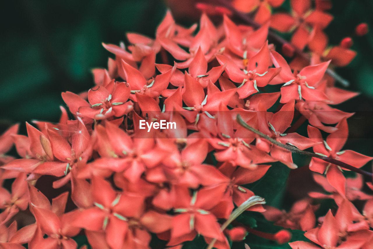 Close-up of ixora flowers