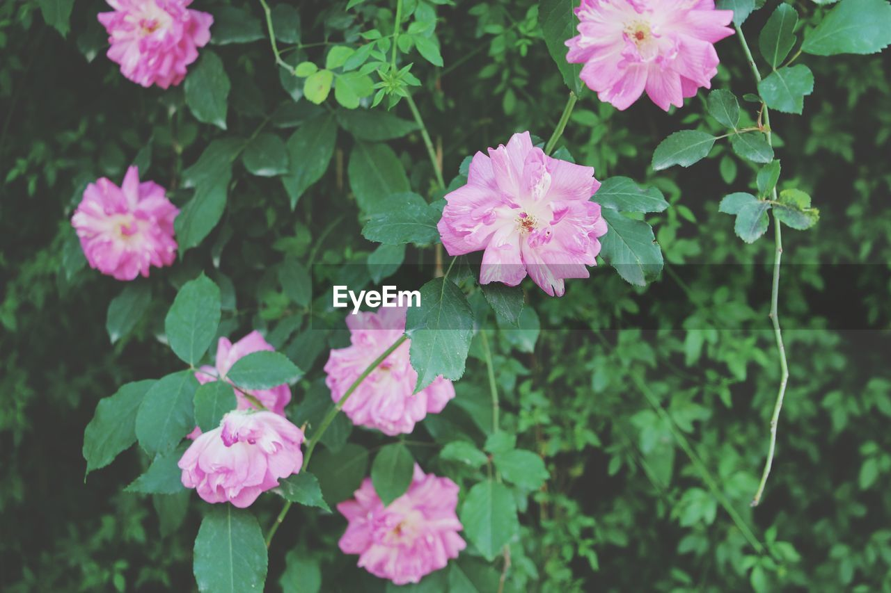 flower, growth, plant, nature, pink color, beauty in nature, fragility, leaf, green color, petal, freshness, outdoors, blooming, day, flower head, no people, close-up, zinnia