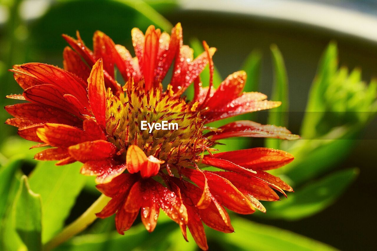 Close-up of raindrops on red gaillardia flower