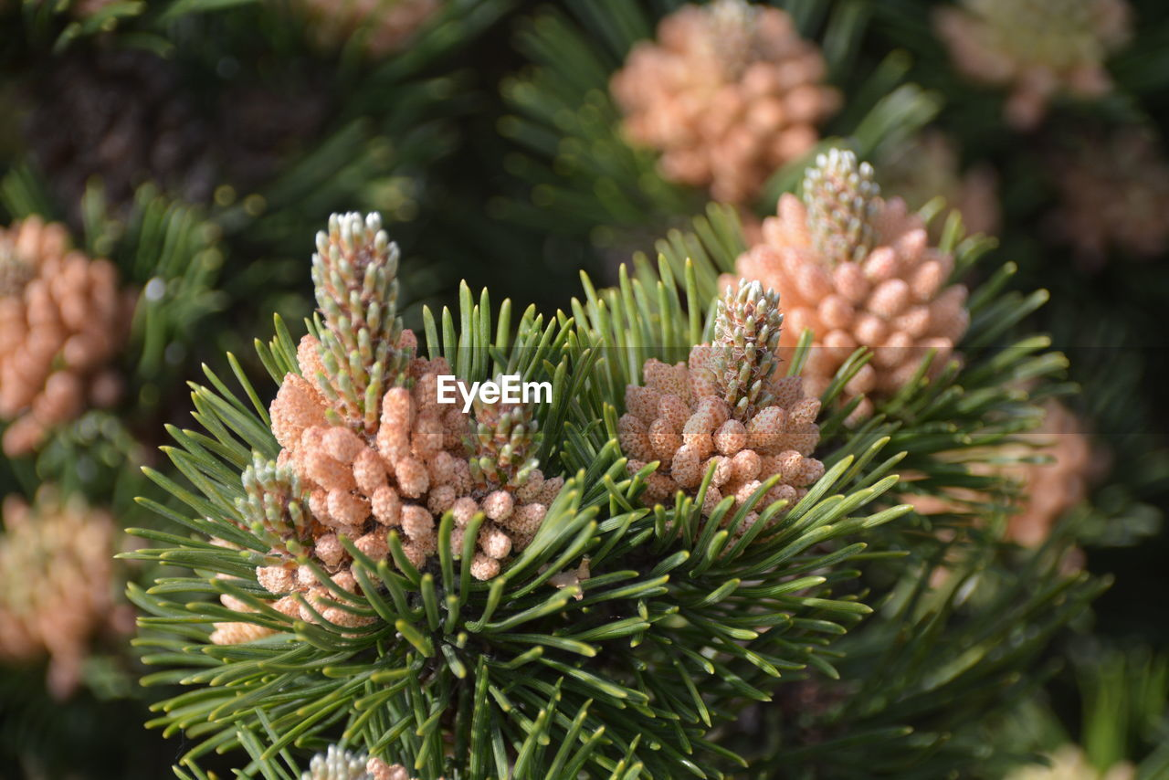 plant, green color, close-up, growth, beauty in nature, nature, focus on foreground, day, no people, flower, selective focus, freshness, tree, plant part, leaf, coniferous tree, pine tree, flowering plant, outdoors, botany, needle - plant part