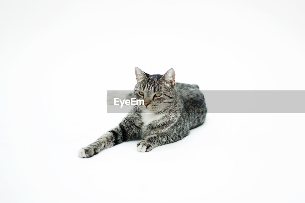 Portrait of cat sitting against white background