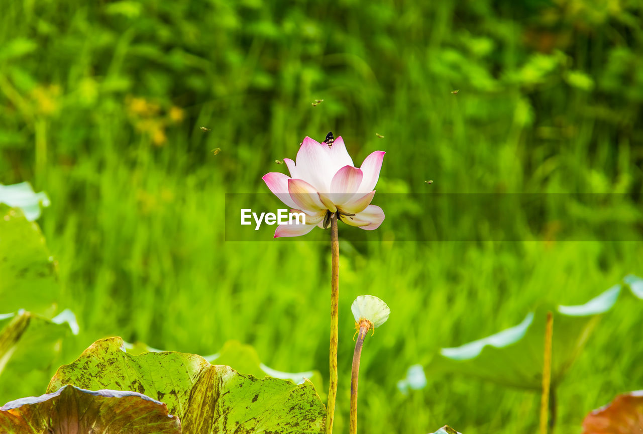 Close-up of pink water lily