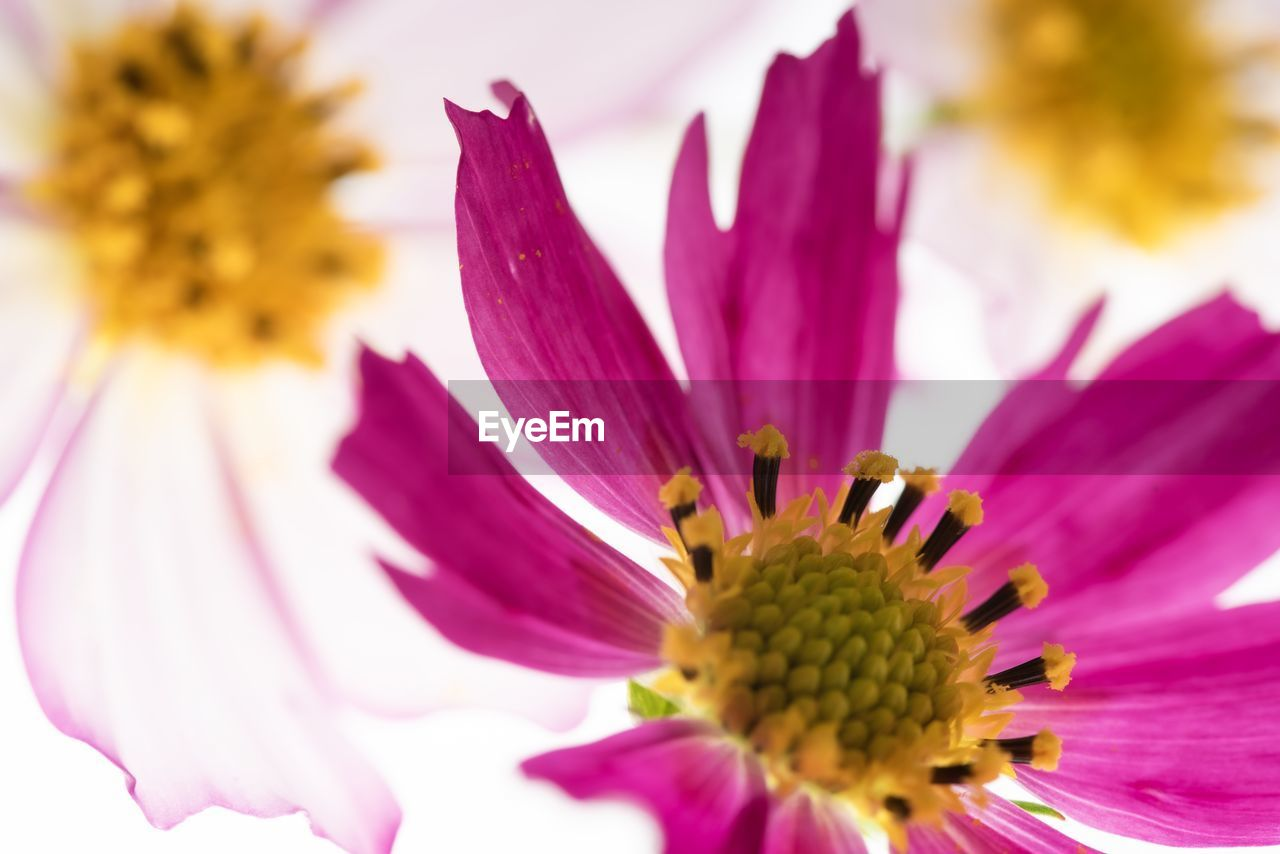 flowering plant, flower, fragility, vulnerability, freshness, petal, beauty in nature, plant, flower head, close-up, inflorescence, growth, pink color, pollen, no people, nature, selective focus, yellow, day, purple, gazania