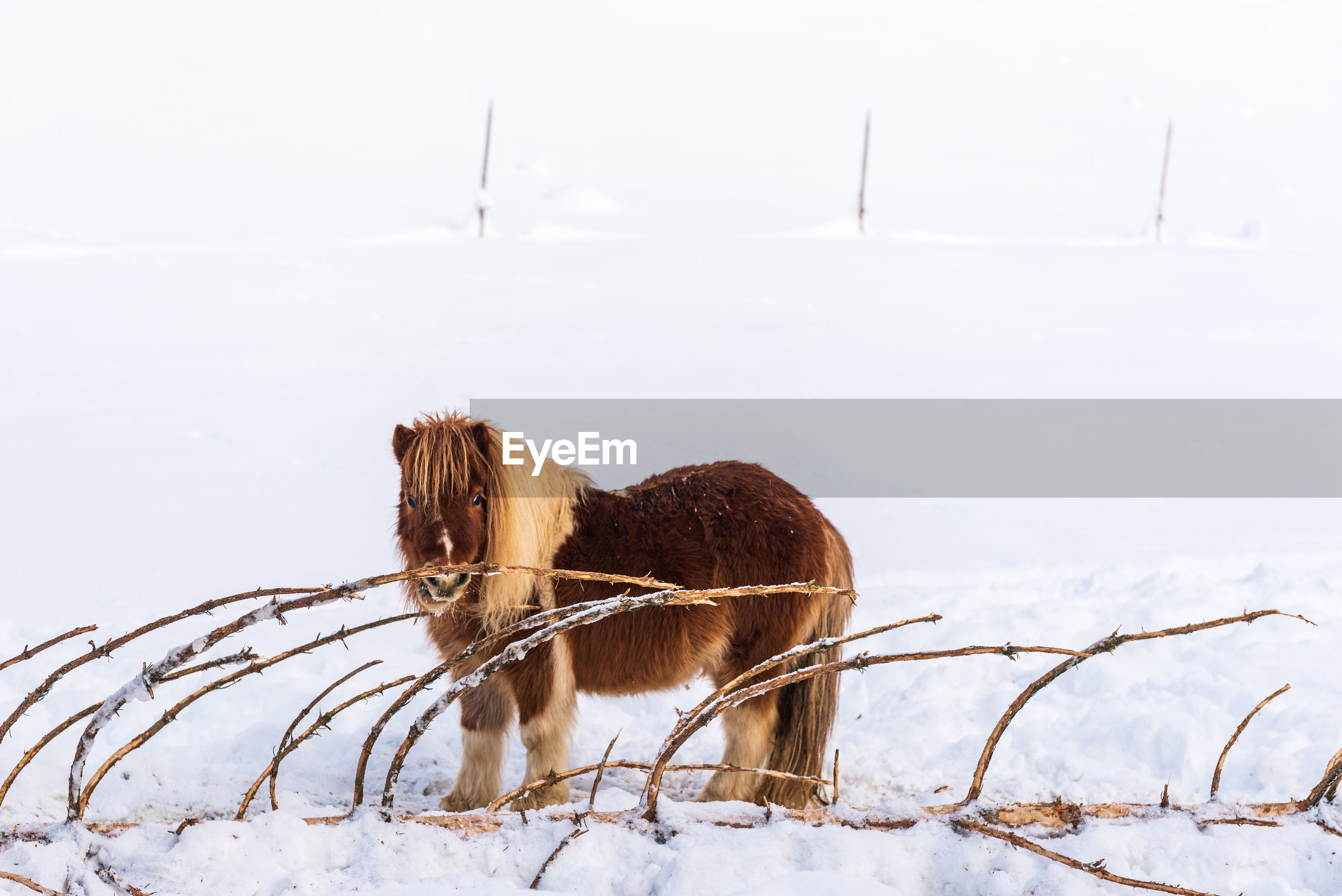 A pony standing on the snow next to a bitten coniferous tree. in the background the paddock fence.