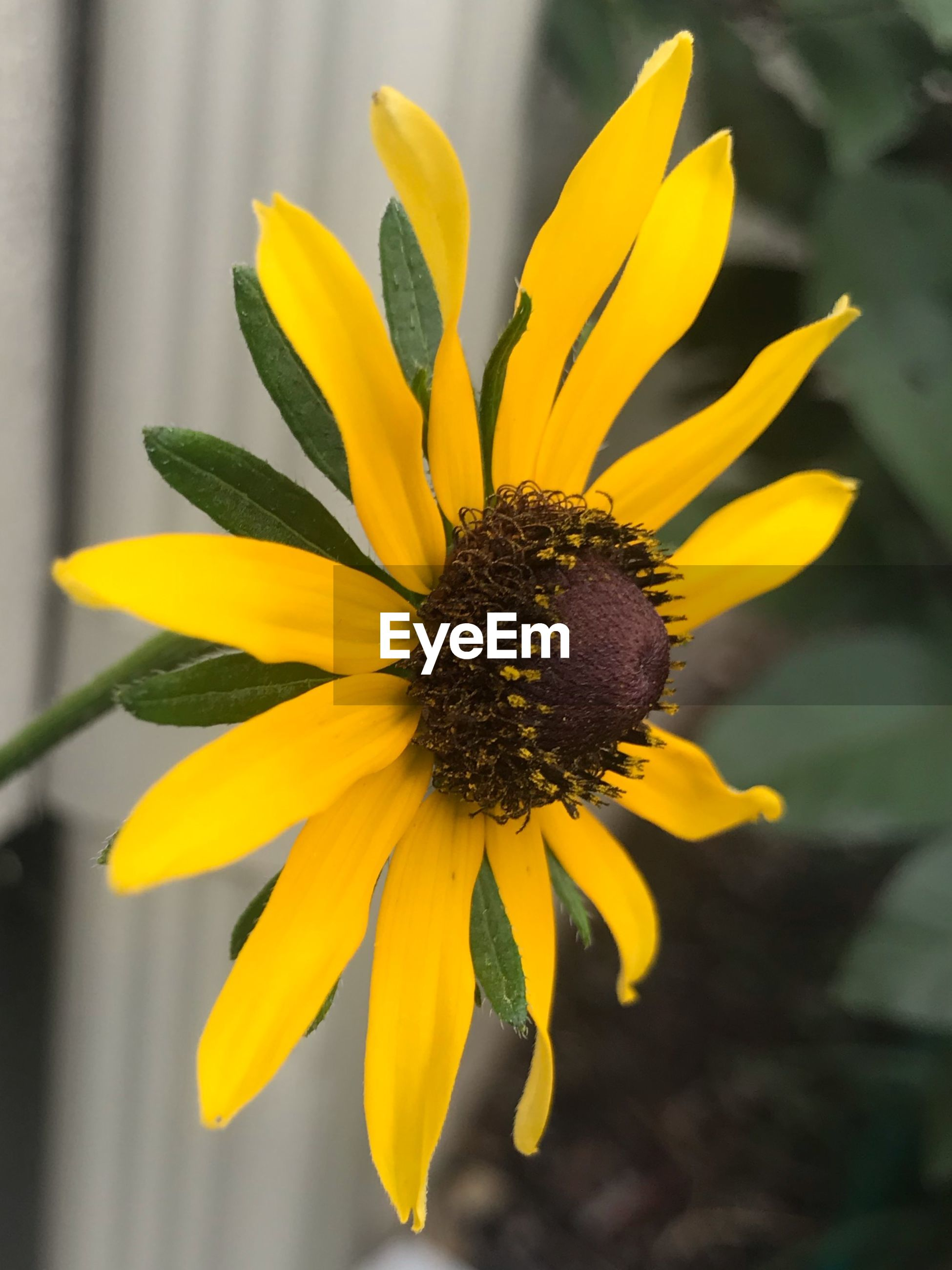 CLOSE-UP OF YELLOW DANDELION FLOWER