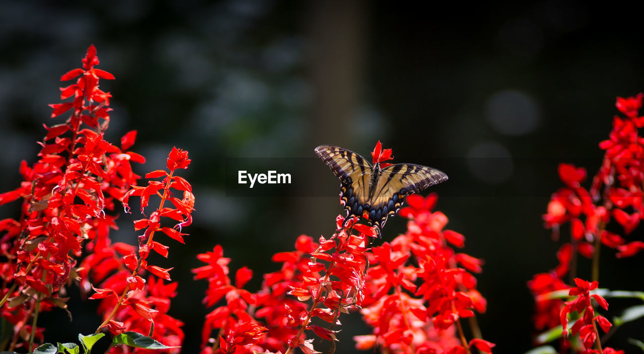 Close-Up Of Butterfly Perching On Fresh Red Flowers
