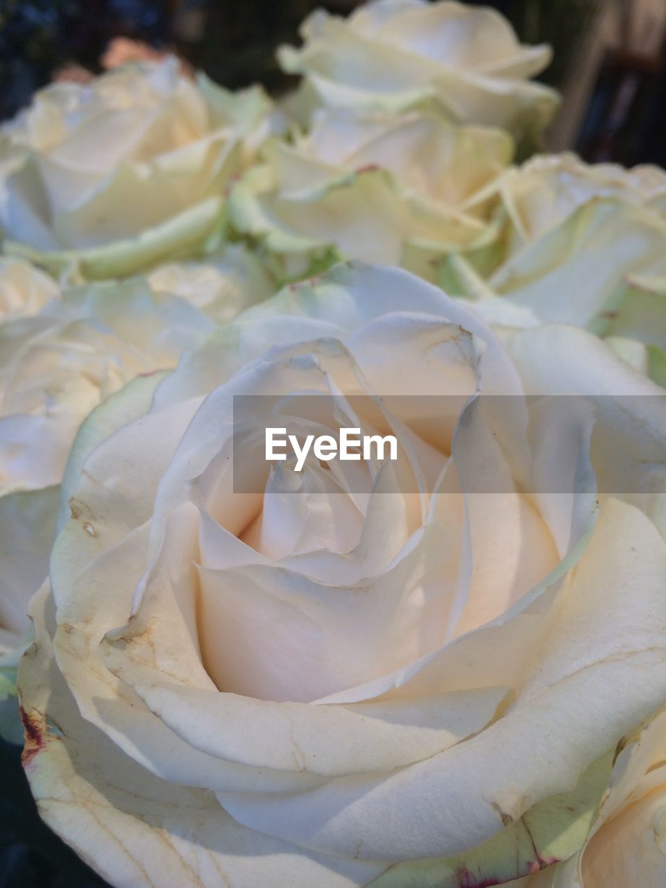 flower, petal, nature, rose - flower, beauty in nature, flower head, freshness, no people, fragility, close-up, growth, outdoors, day