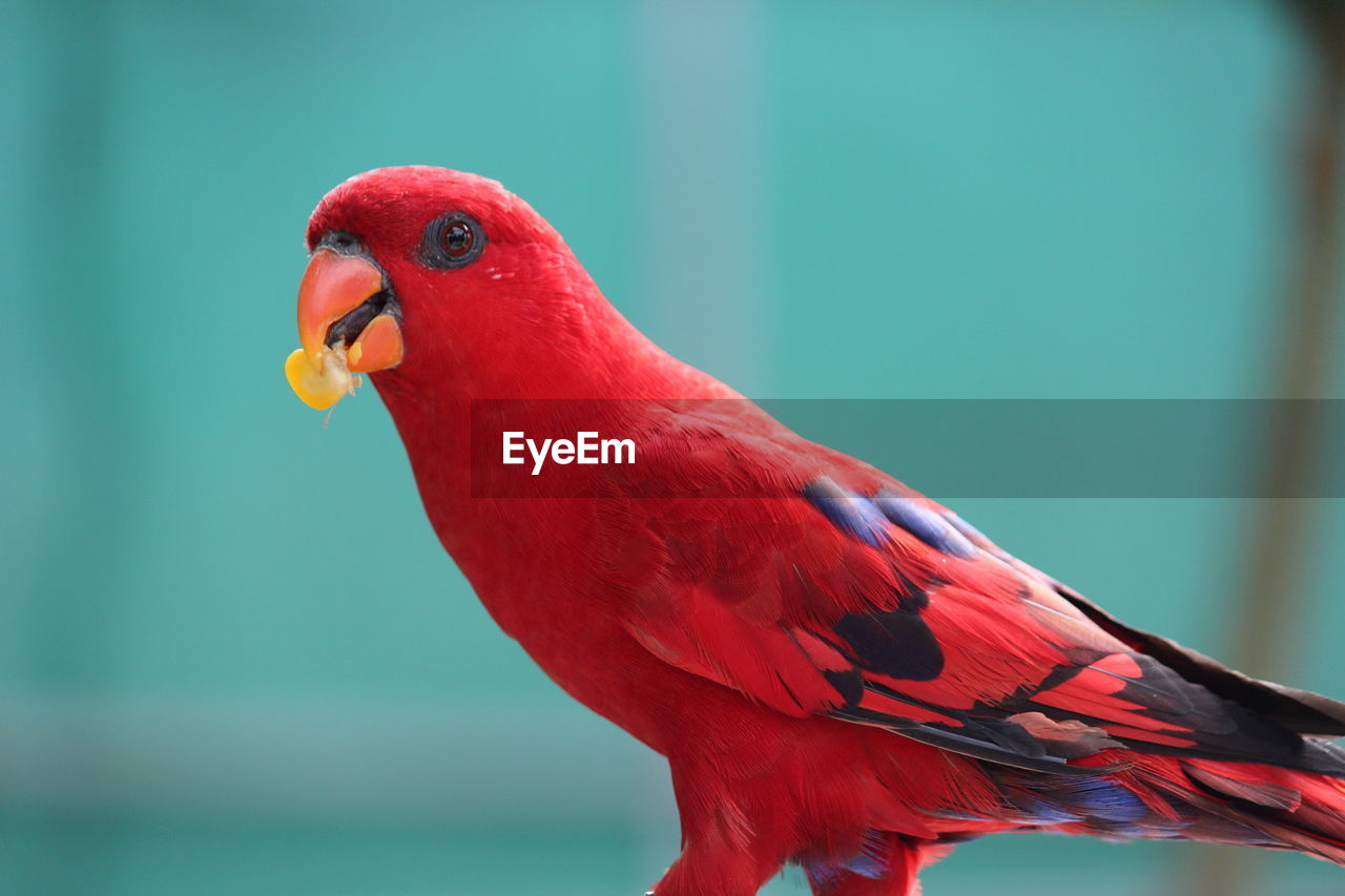 bird, animal themes, vertebrate, animal, one animal, animal wildlife, parrot, animals in the wild, red, close-up, focus on foreground, no people, day, nature, perching, beak, zoology, outdoors, blue, vibrant color, mouth open