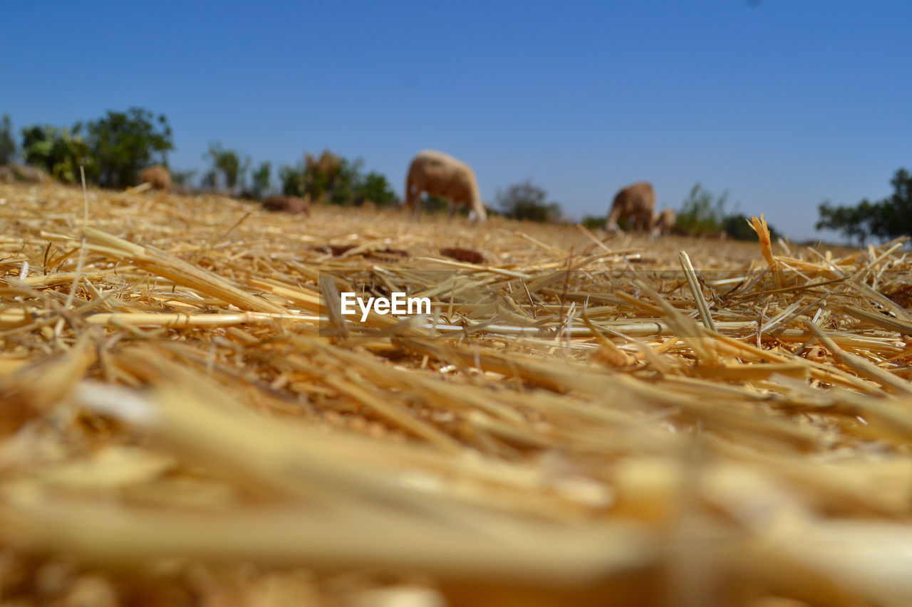 field, selective focus, nature, agriculture, no people, day, outdoors, clear sky, beauty in nature, close-up, sky