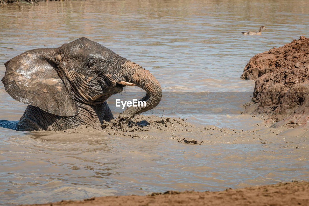 VIEW OF ELEPHANT IN SEA