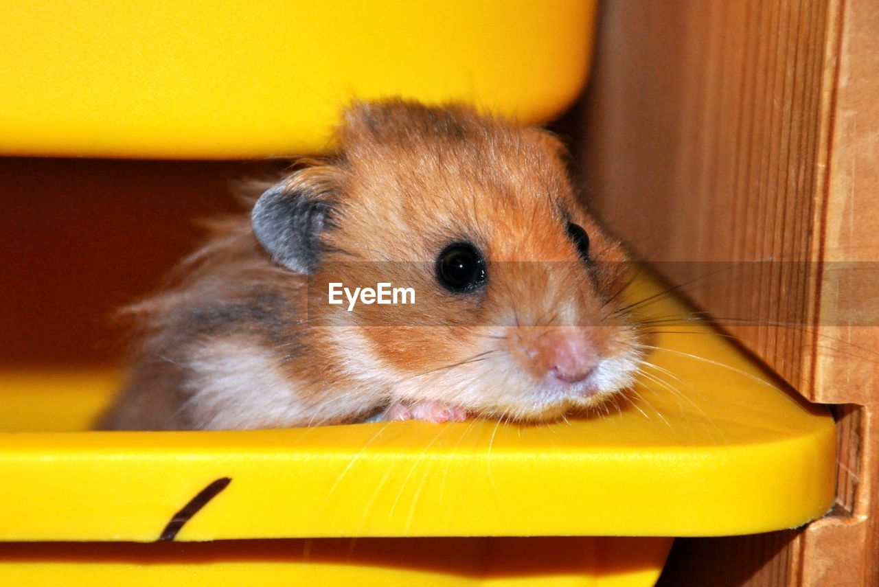 Close-Up Of Hamster In Yellow Container At Home
