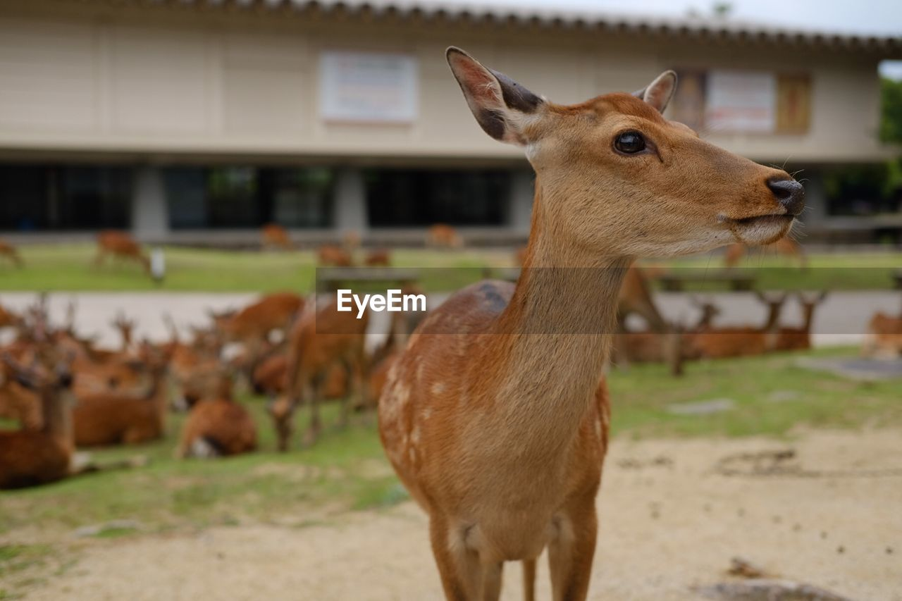 animal themes, animal, mammal, animal wildlife, focus on foreground, vertebrate, animals in the wild, deer, brown, field, one animal, domestic animals, land, no people, day, built structure, nature, architecture, herbivorous, outdoors, fawn