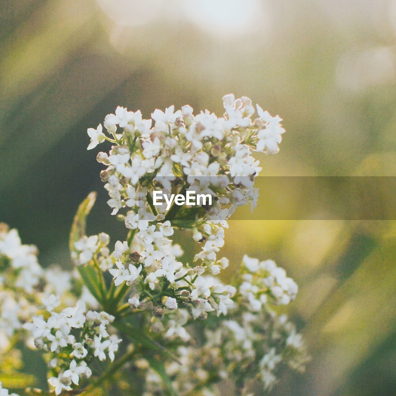 flower, flowering plant, plant, beauty in nature, vulnerability, fragility, freshness, close-up, growth, selective focus, day, nature, white color, no people, petal, flower head, focus on foreground, inflorescence, outdoors, tranquility