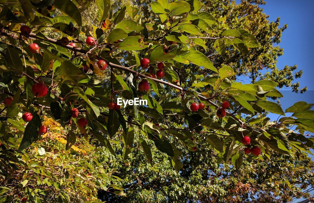 fruit, food and drink, growth, leaf, tree, outdoors, day, nature, freshness, food, green color, hanging, no people, healthy eating, branch, red, low angle view, beauty in nature, plant, agriculture, close-up