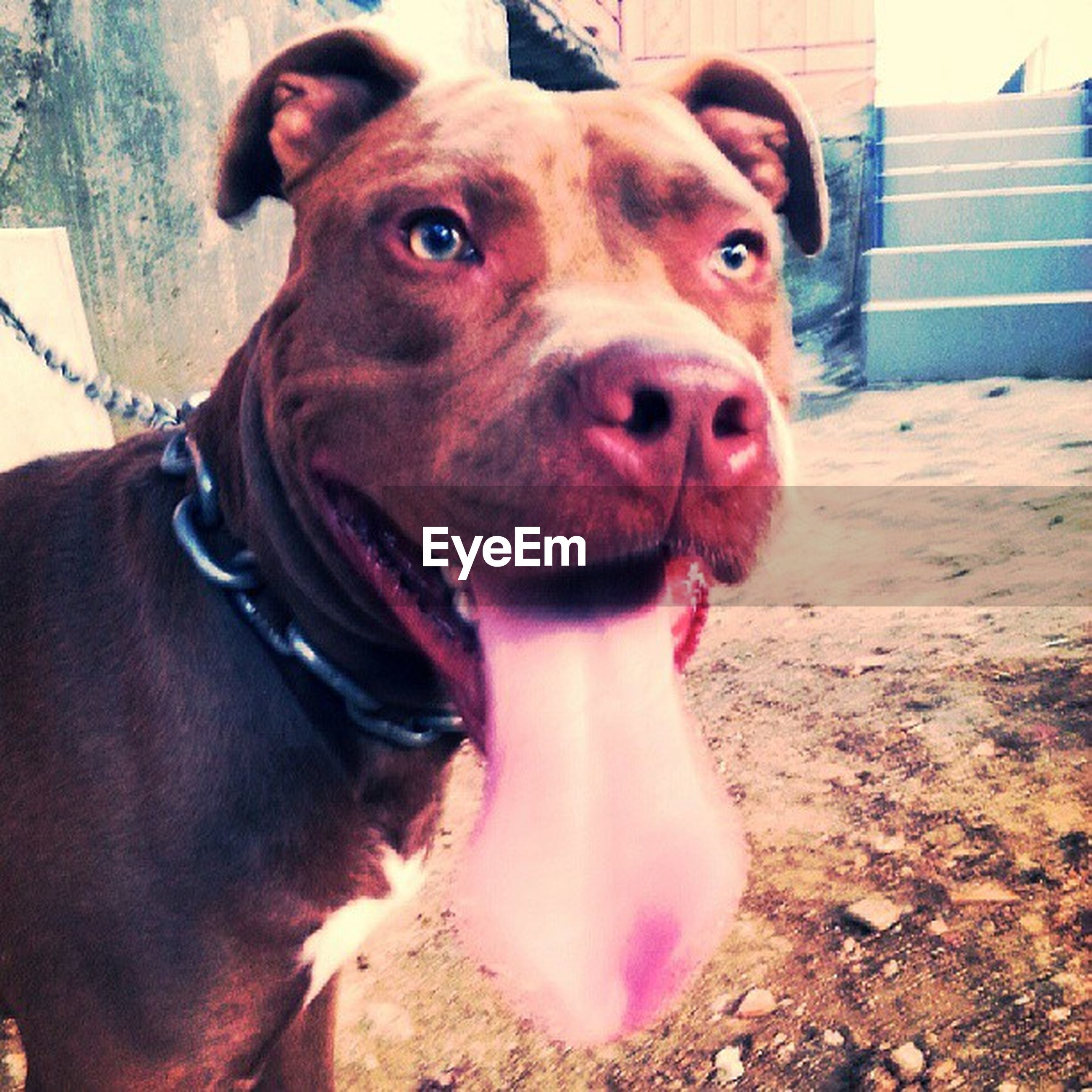 dog, domestic animals, pets, animal themes, mammal, one animal, looking at camera, portrait, mouth open, pet collar, sticking out tongue, close-up, sitting, brown, front view, animal tongue, canine, panting, animal head