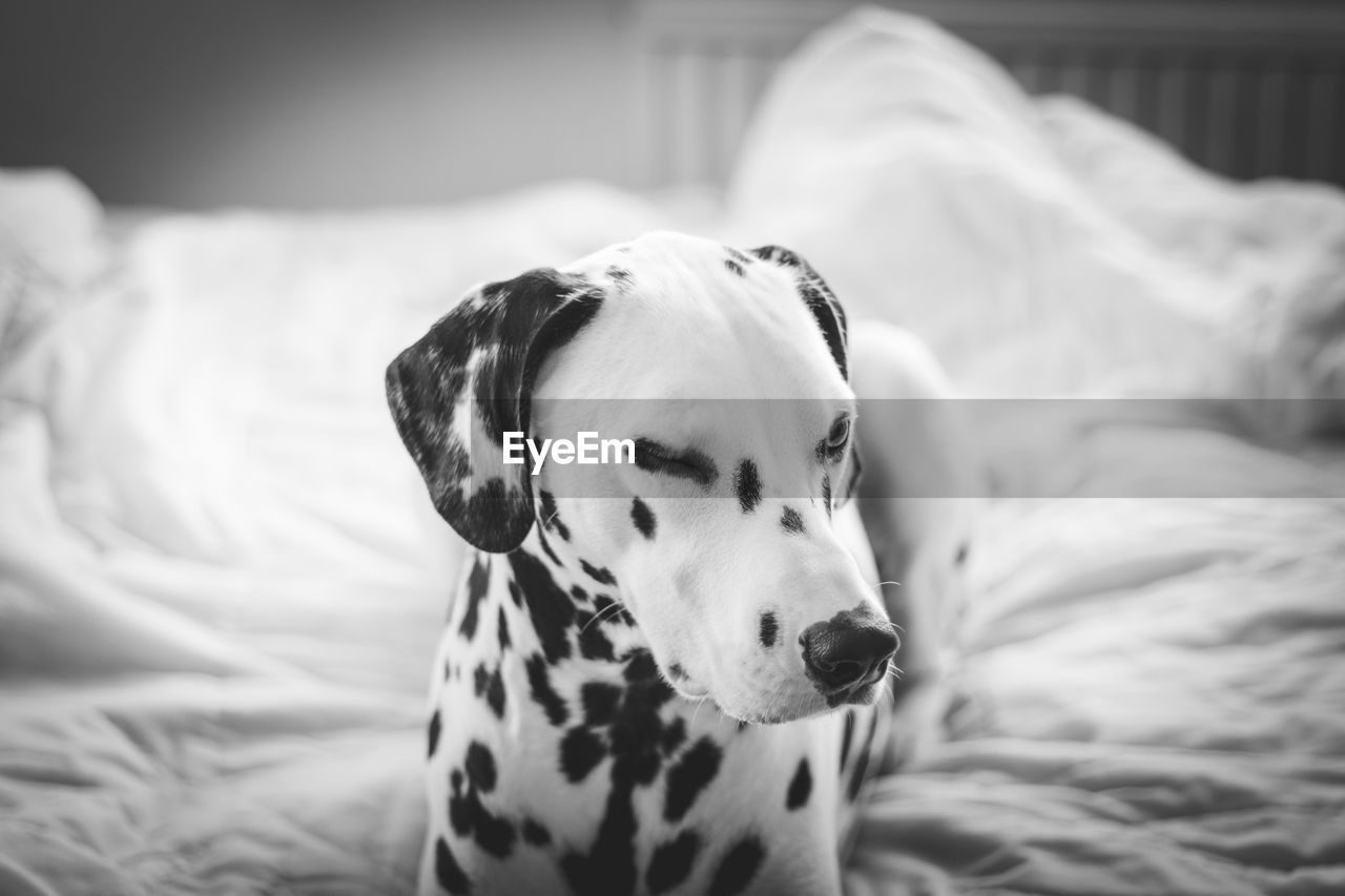 Spotted Dalmatian Dog Resting On Bed At Home