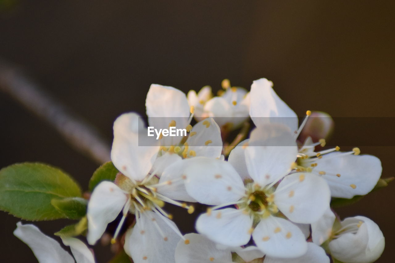white color, flower, growth, beauty in nature, fragility, nature, freshness, blossom, no people, botany, petal, apple blossom, springtime, close-up, flower head, plant, tree, outdoors, day, branch
