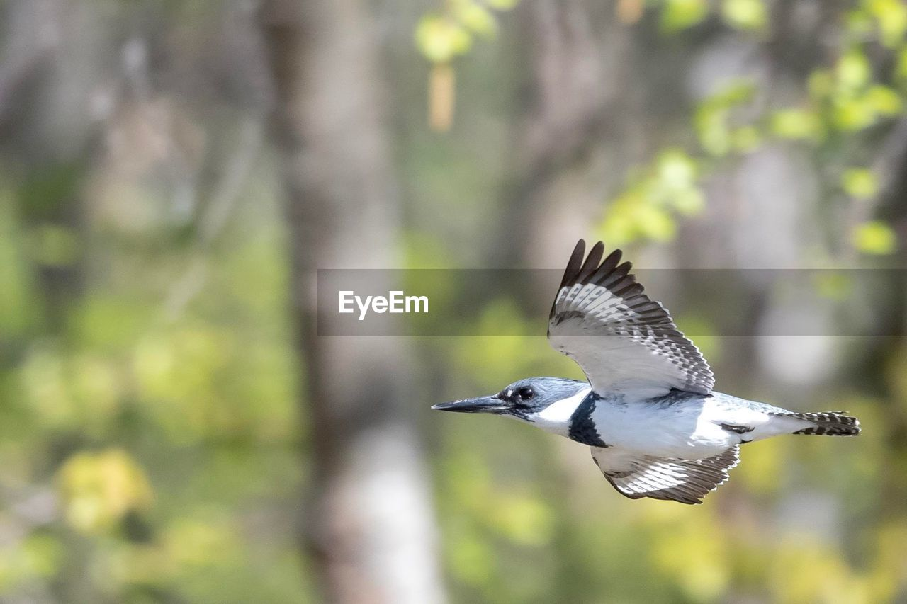 animals in the wild, animal wildlife, bird, animal themes, flying, vertebrate, animal, spread wings, focus on foreground, one animal, mid-air, motion, day, nature, no people, outdoors, tree, green color, plant, beauty in nature
