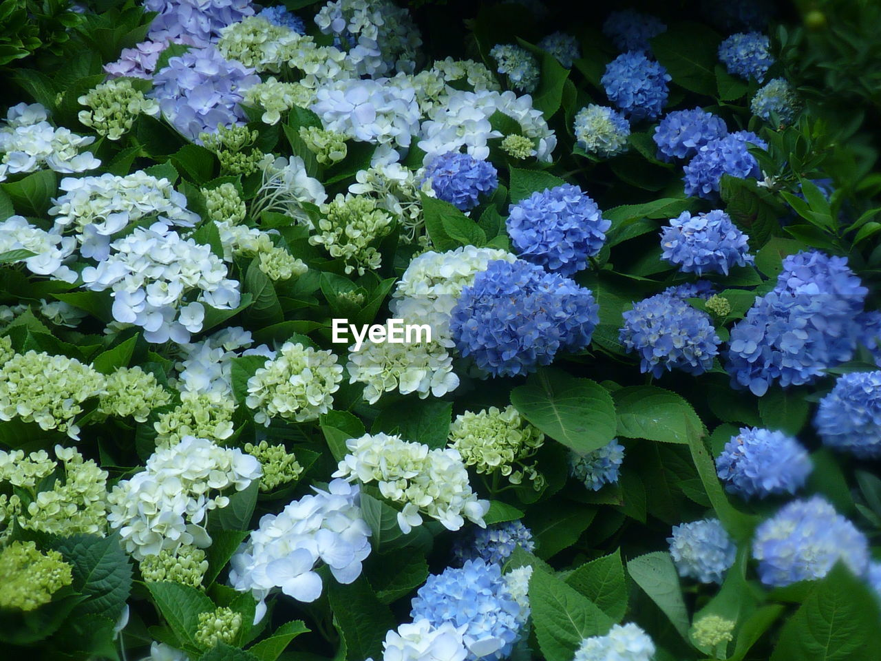 freshness, flowering plant, flower, beauty in nature, vulnerability, fragility, plant, growth, leaf, inflorescence, no people, nature, day, plant part, close-up, petal, flower head, green color, high angle view, hydrangea, outdoors, purple, bunch of flowers, softness, lilac