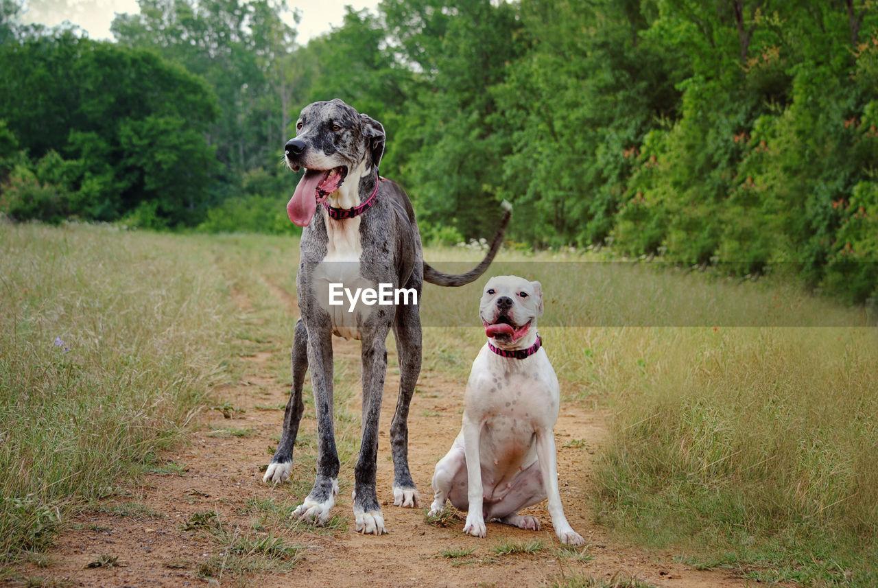 Great Dane And American Bulldog On Field