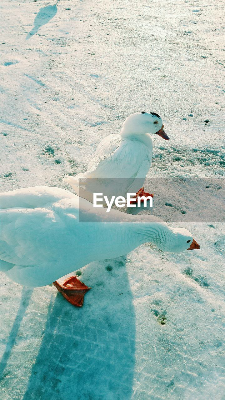 High Angle View Of Geese On Snow Covered Field