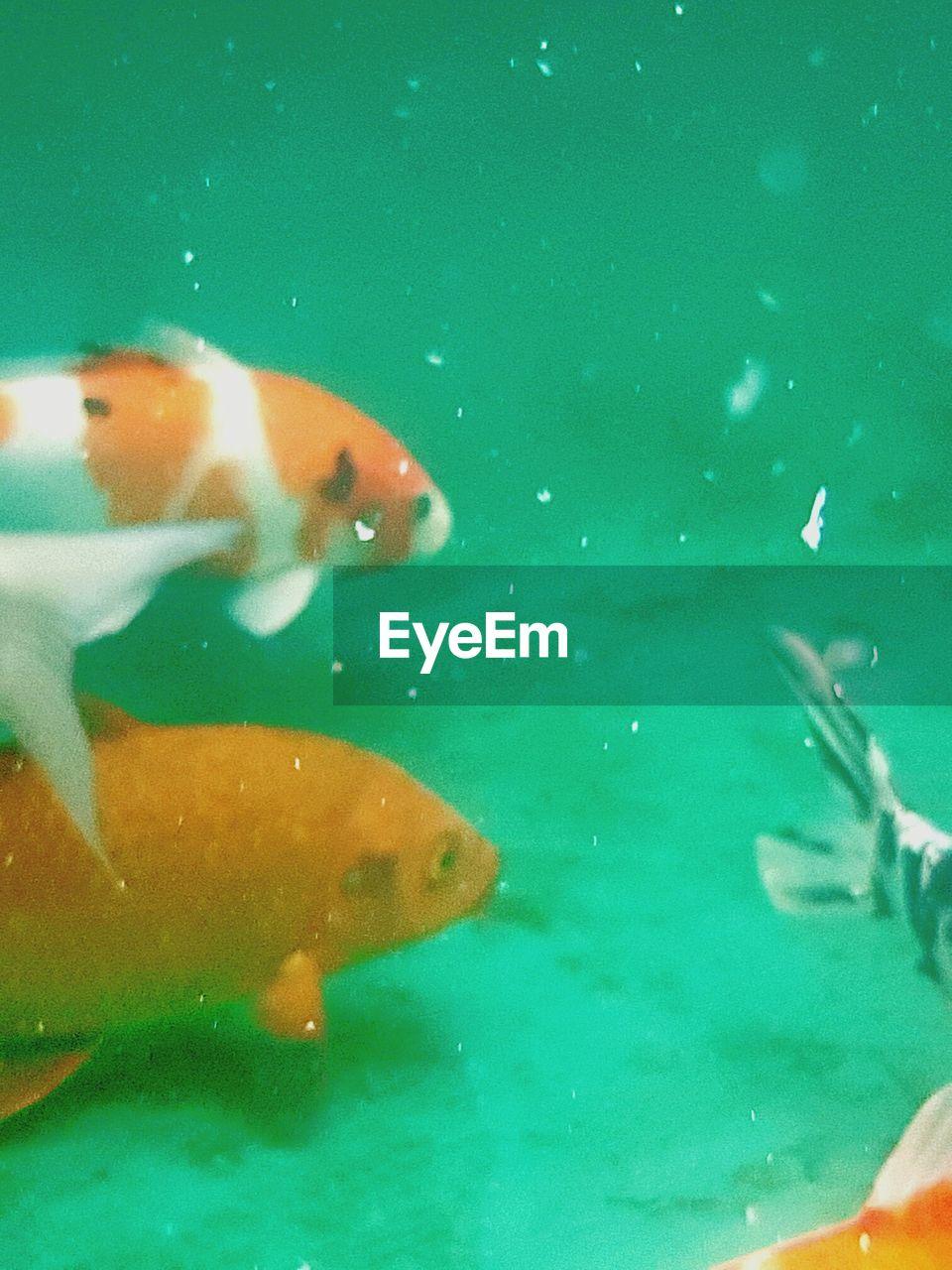 water, animal themes, swimming, fish, underwater, one animal, animals in the wild, indoors, no people, sea life, nature, day, close-up, goldfish, aquarium, mammal