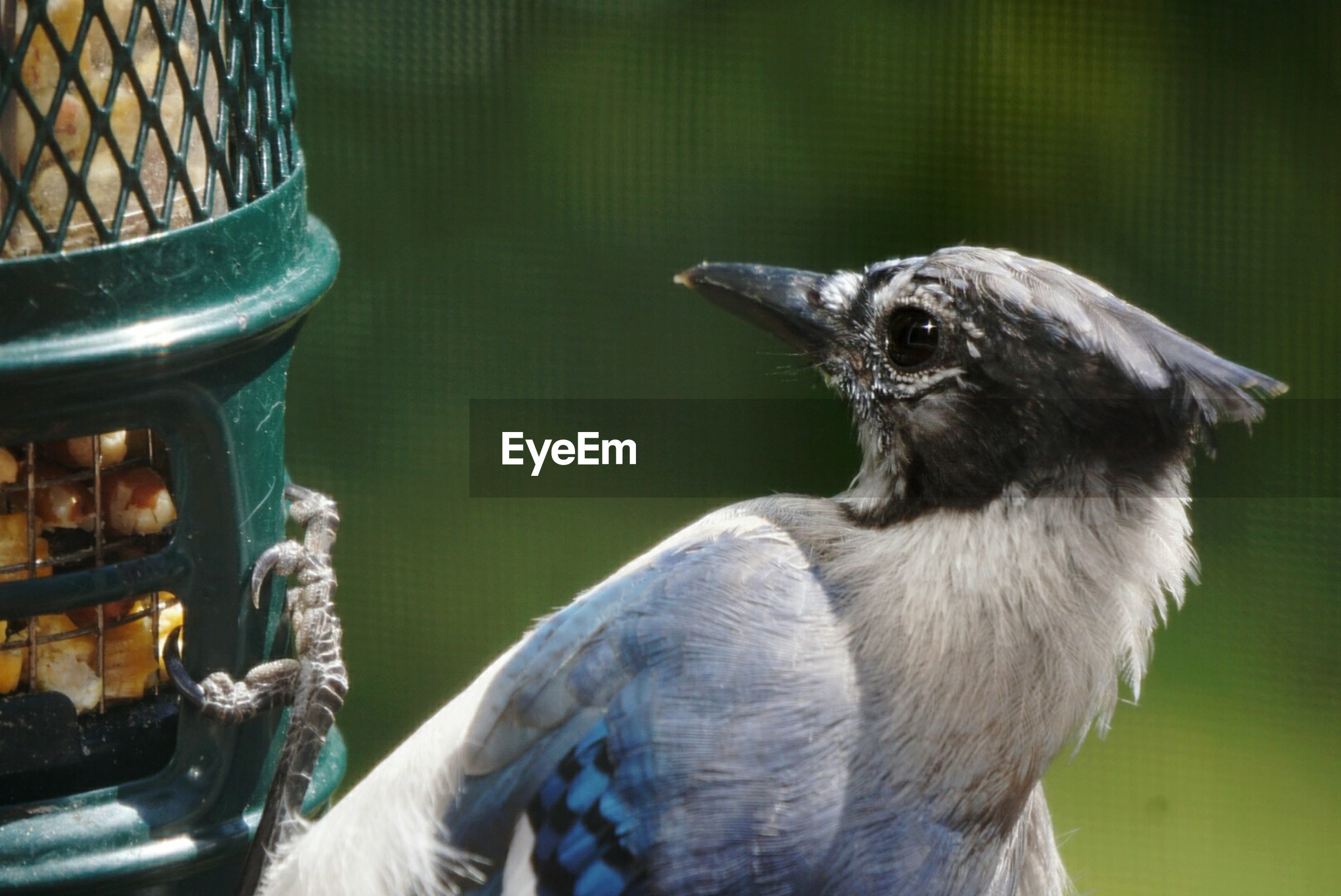 Close-up of blue jay perching on bird feeder