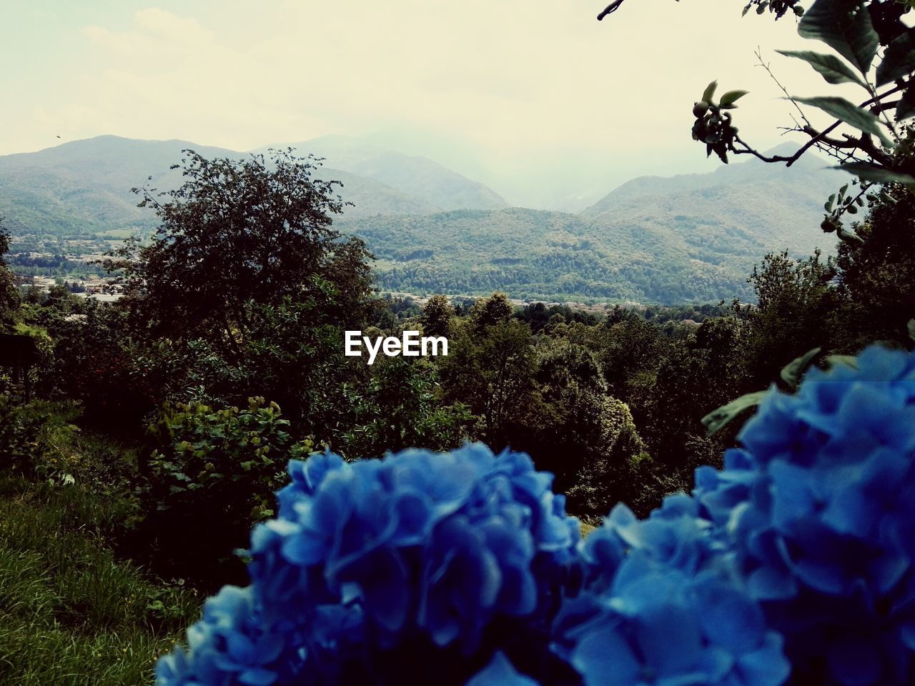 plant, beauty in nature, flowering plant, flower, growth, tree, nature, mountain, sky, day, freshness, blue, no people, close-up, fragility, tranquility, vulnerability, scenics - nature, outdoors, tranquil scene, flower head